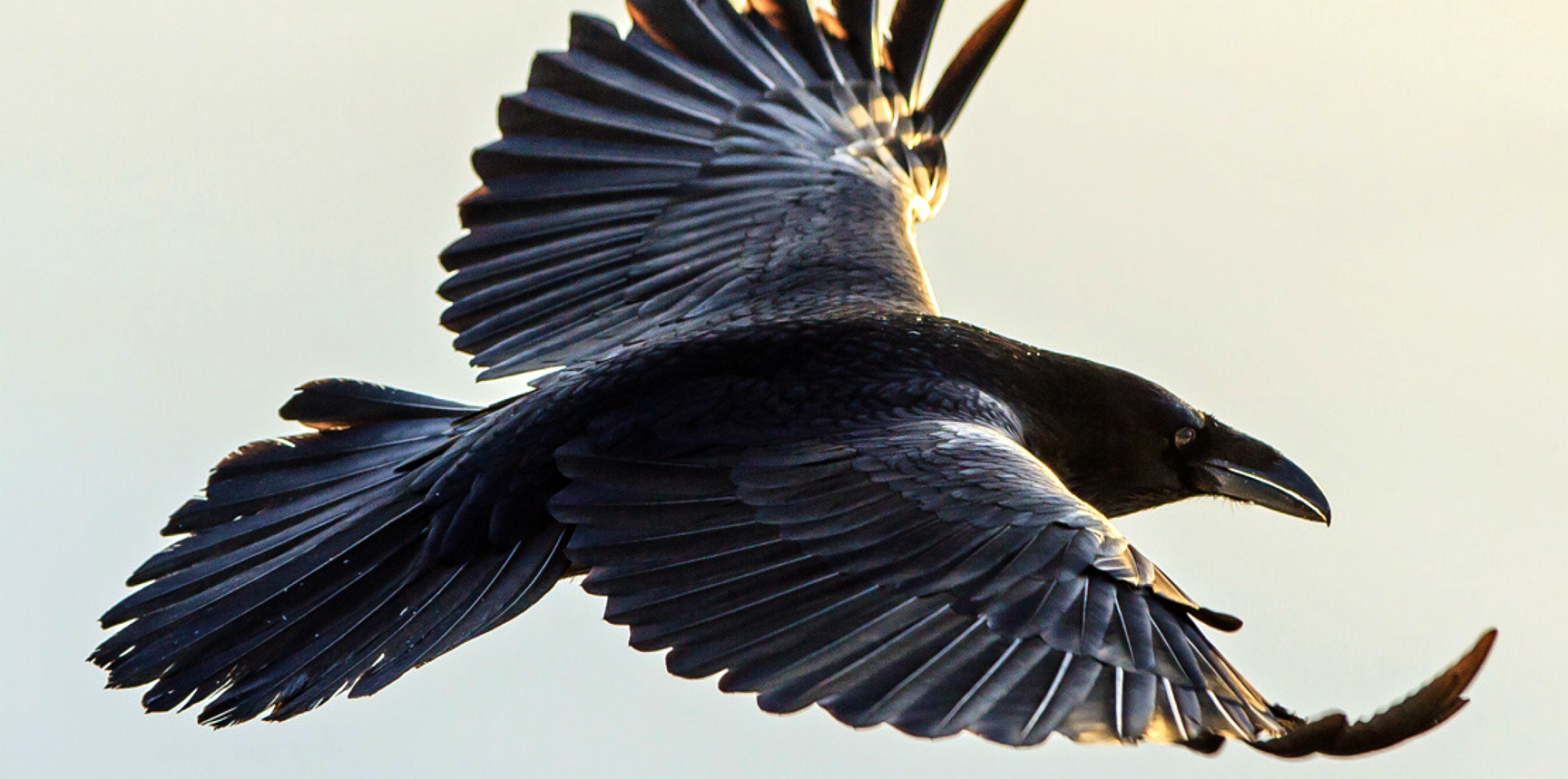 even as my friend lay dying, the ravens feed their young…